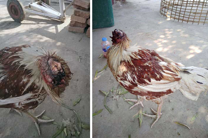 سر کٹا مرغا، بنکاک میں ہوا قدرت کا عجوبہ