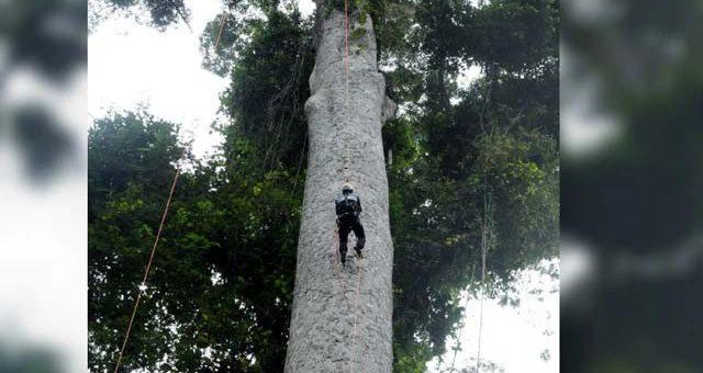 دنیا کا طویل ترین درخت دریافت