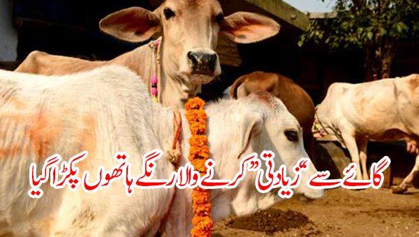 گائے سے ''زیادتی'' کرنے والا رنگے ہاتھوں پکڑا گیا