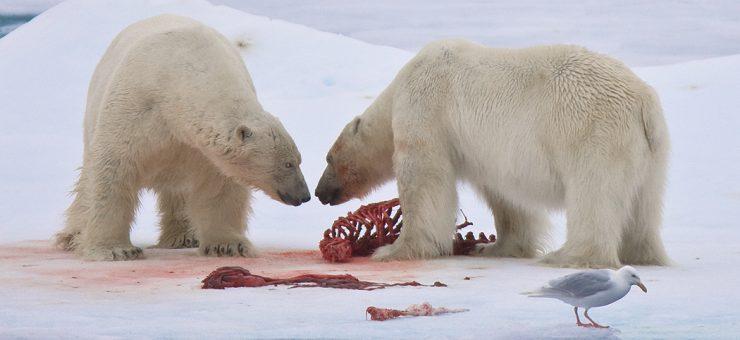 گلوبل وارمنگ کےبھیانک اثرات :قطبی ریچھ اپنے ہی بچے کھانے پر مجبور