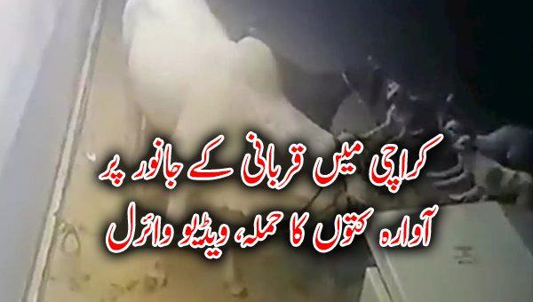 کراچی میں قربانی کے جانور پر آوارہ کتوں کا حملہ، ویڈیو وائرل