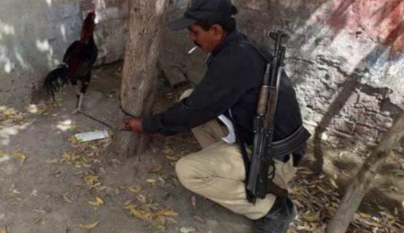 سندھ میں جواریوں کا گرفتارمرغا ضمانت کا منتظر،پولیس پریشان